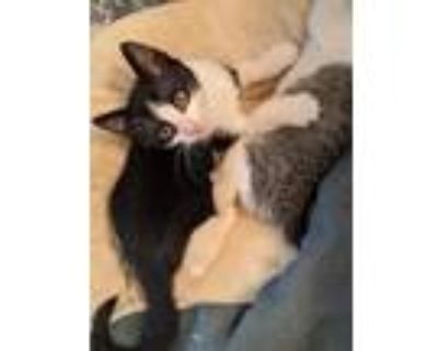 Adopt Moonpie a Black & White or Tuxedo American Shorthair / Mixed (short coat)