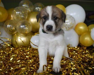 Anatolian Shepherd Cross LGD pups