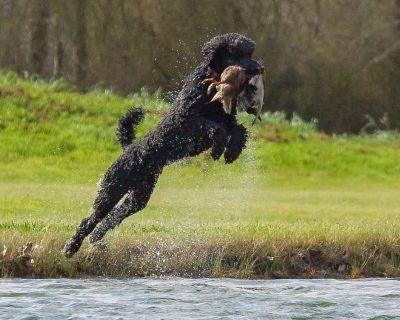 Champion Hunting Poodle Bloodline