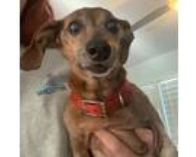 Adopt Max a Brown/Chocolate Dachshund / Mixed dog in Decatur, GA (30922099)