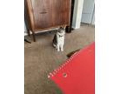 Adopt Cleo a Calico or Dilute Calico Calico / Mixed (short coat) cat in