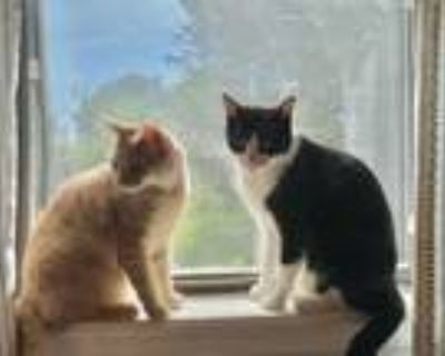 Adopt Cali a Orange or Red Domestic Mediumhair / Mixed cat in Owasso