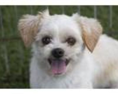 Adopt Indy a White Shih Tzu / Mixed dog in Colorado Springs, CO (31894196)