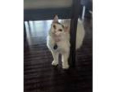 Adopt Winter a White (Mostly) Siberian / Mixed (long coat) cat in Plano