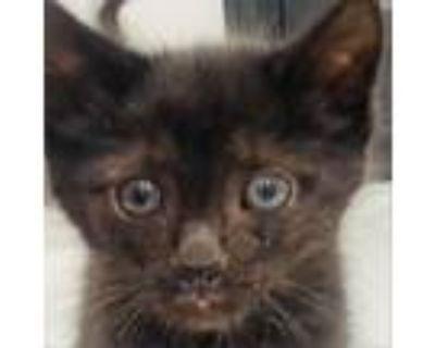 Adopt Mikimoto a Domestic Short Hair
