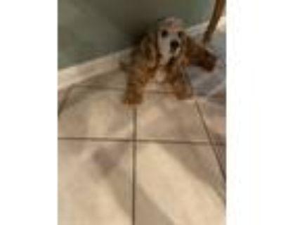 Adopt Brucie a Red/Golden/Orange/Chestnut Cocker Spaniel / Mixed dog in