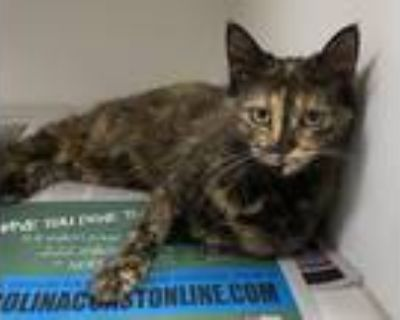Adopt Pickle a Tortoiseshell Domestic Mediumhair (medium coat) cat in Newport