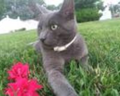 Adopt Big Boy a Gray or Blue Domestic Mediumhair / Mixed (medium coat) cat in