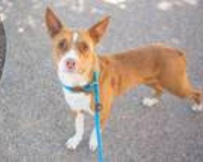 Adopt POPPY a Australian Cattle Dog / Blue Heeler, Mixed Breed