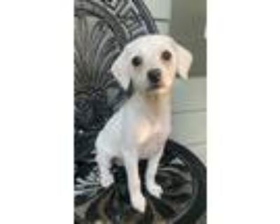 Adopt Kismet a Tan/Yellow/Fawn Terrier (Unknown Type, Small) / Poodle