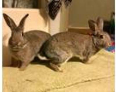 Adopt Tisket & Tasket a Agouti Other/Unknown / Mixed (short coat) rabbit in lake