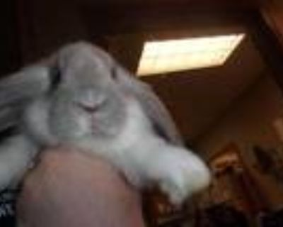 Adopt Hopscotch a White American / American / Mixed rabbit in Arlington