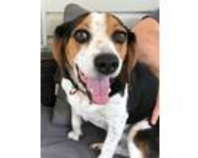Adopt Whiskey Blue a Tricolor (Tan/Brown & Black & White) Beagle / Mixed dog in