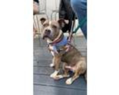 Adopt Big Bear a American Pit Bull Terrier / Mixed dog in Germantown