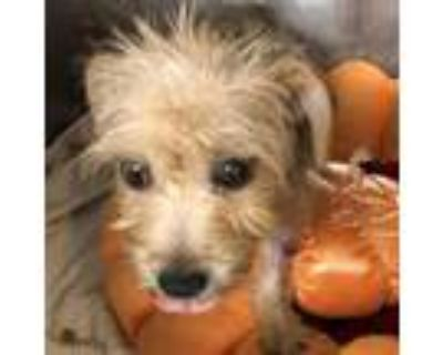 Adopt Titanya a Chinese Crested Dog, Yorkshire Terrier
