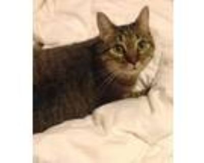 Adopt Bailey the declawed lap cat a Manx, Domestic Short Hair