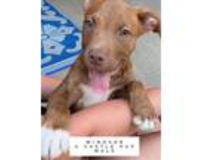 Adopt WINDSOR SOCIETY-A CASTLE PUP a Labrador Retriever, Mixed Breed
