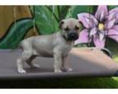 Adopt Star a American Staffordshire Terrier, Labrador Retriever