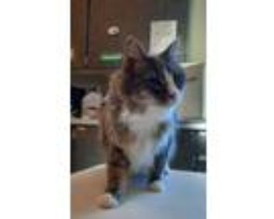 Adopt Tibbs a Gray or Blue Domestic Longhair / Domestic Shorthair / Mixed cat in