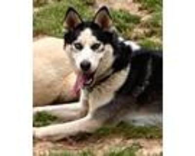 Adopt Monty a Black - with White Siberian Husky / Husky / Mixed dog in Roswell