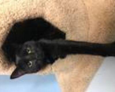 Adopt Donna a Domestic Shorthair / Mixed (short coat) cat in Leonardtown
