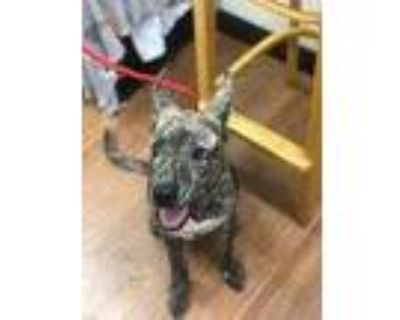 Adopt 070821 a Brindle American Pit Bull Terrier / Mixed dog in Baton Rouge