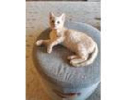 Adopt Kirk a Orange or Red Domestic Shorthair / Domestic Shorthair / Mixed cat