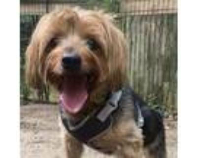 Adopt Cooper a Yorkshire Terrier