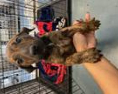 Adopt MOSCATO a Pit Bull Terrier / Mixed dog in Chico, CA (31456987)