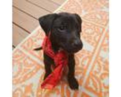 Adopt Utah a Black - with White Labrador Retriever / Pit Bull Terrier dog in