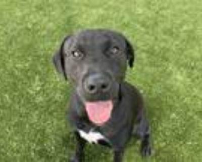 Adopt Molly a Black Labrador Retriever / Mixed dog in Grapevine, TX (31549584)