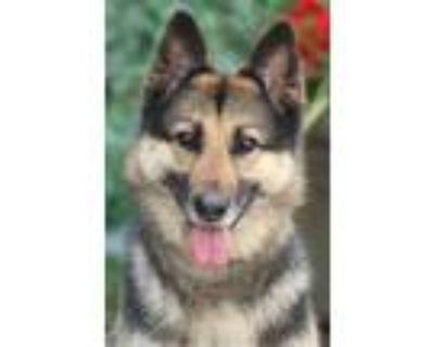 Adopt Lilly von Lollar a Black - with Tan, Yellow or Fawn German Shepherd Dog /