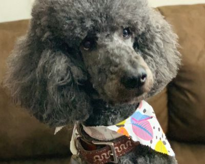 Poodle Standard Puppy for Sale - M1 Blue