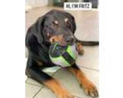 Adopt Fritz a Rottweiler, Shepherd