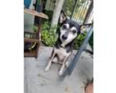 Adopt Arya a Black - with White Husky / Rat Terrier / Mixed dog in North