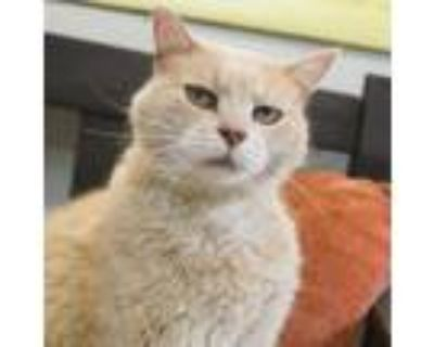 Adopt Cloe a Orange or Red Domestic Shorthair / Mixed cat in Chestertown