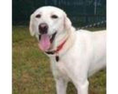 Adopt Rose a White - with Tan, Yellow or Fawn Labrador Retriever / Mixed dog in