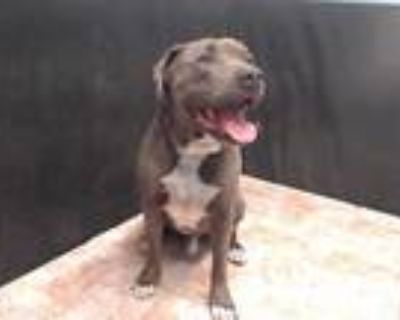 Adopt NOAH a Brown/Chocolate American Pit Bull Terrier / Mixed dog in Lancaster