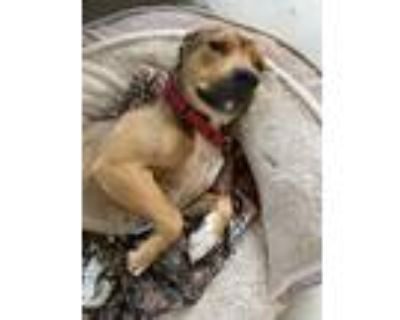 Adopt Mila a Brown/Chocolate - with Black German Shepherd Dog / Rottweiler /