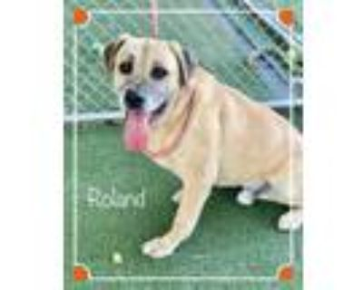 Adopt ROLAND a Tan/Yellow/Fawn - with White Mastiff / Mixed dog in Marietta