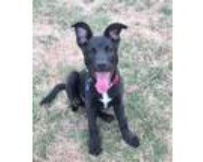 Adopt Reyna a Shepherd, Labrador Retriever