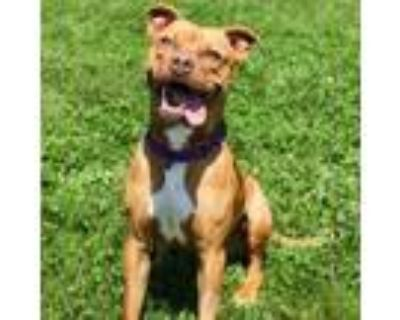 Adopt Becky a Pit Bull Terrier, Mixed Breed