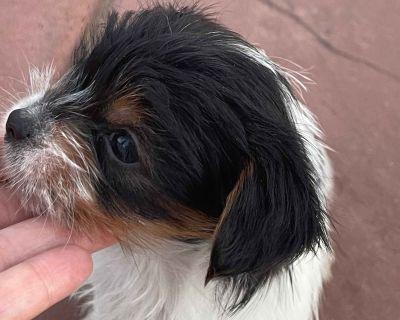 Yorkshire Terrier Parti Puppies