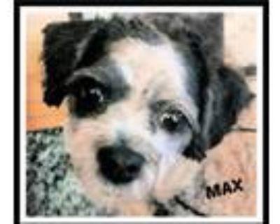 Adopt MAX a Shih Tzu