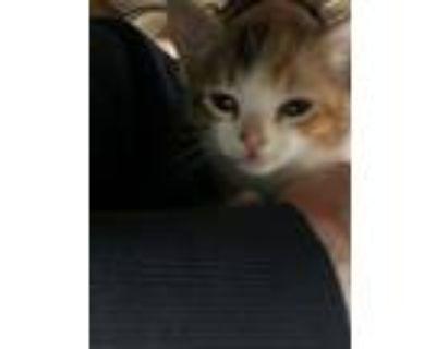 Adopt Sugar a Calico or Dilute Calico Domestic Mediumhair (medium coat) cat in