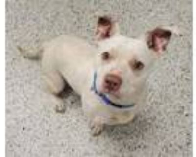 Adopt Lucas a Pit Bull Terrier, Mixed Breed
