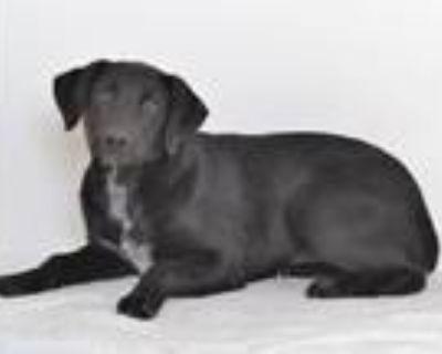Adopt A591235 a Labrador Retriever, Mixed Breed