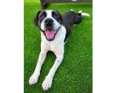 Adopt Zig Zag 603-21 a White American Pit Bull Terrier / Mixed dog in Cumming
