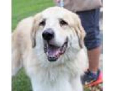 Adopt Chewy a White Great Pyrenees / Retriever (Unknown Type) / Mixed dog in