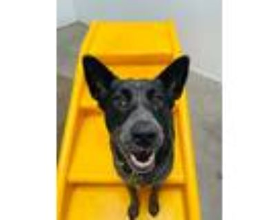 Adopt Rosie a Black - with White Australian Cattle Dog / Mixed dog in Los